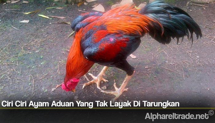Ciri Ciri Ayam Aduan Yang Tak Layak Di Tarungkan
