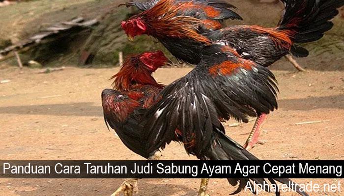Panduan Cara Taruhan Judi Sabung Ayam Agar Cepat Menang