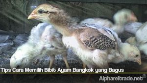 Tips Cara Memilih Bibit Ayam Bangkok yang Bagus