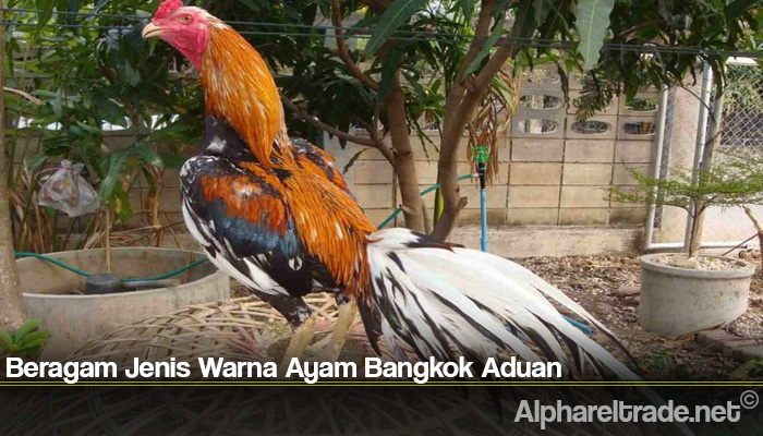 Beragam Jenis Warna Ayam Bangkok Aduan