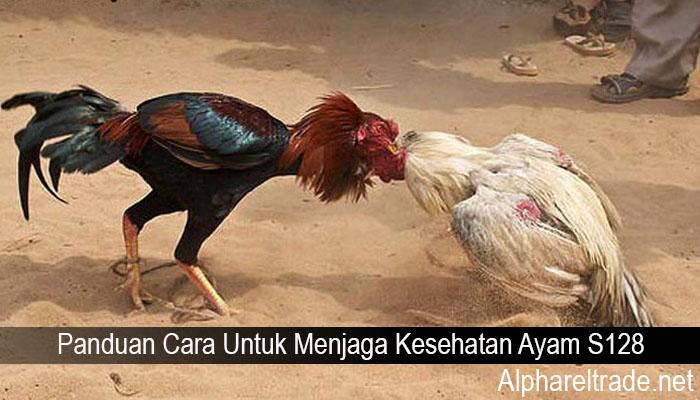 Panduan Cara Untuk Menjaga Kesehatan Ayam S128